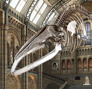 London's Natural history museum: a blue whale 3D scanning project
